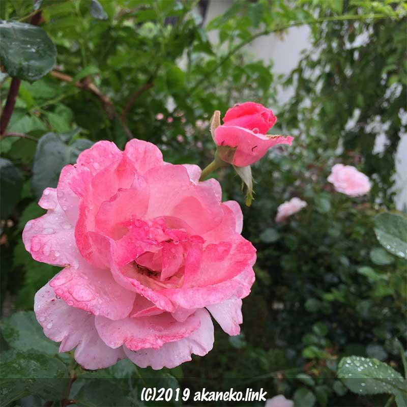 雨に打たれたバラ、クイーンエリザベス(Queen Elizabeth)