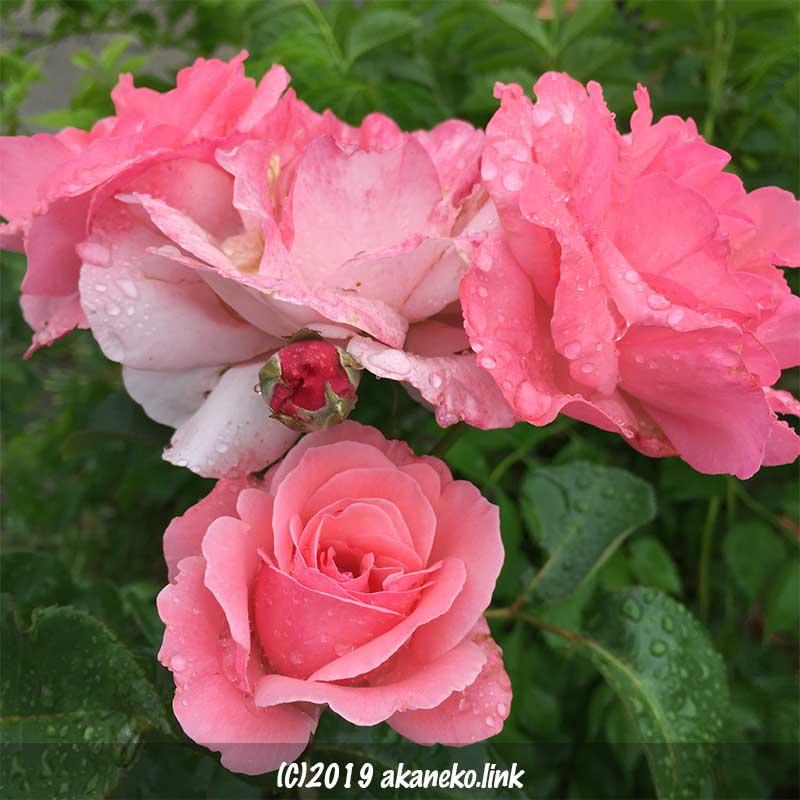 雨に濡れた房咲きのピンクのバラ、クイーンエリザベス(Queen Elizabeth)