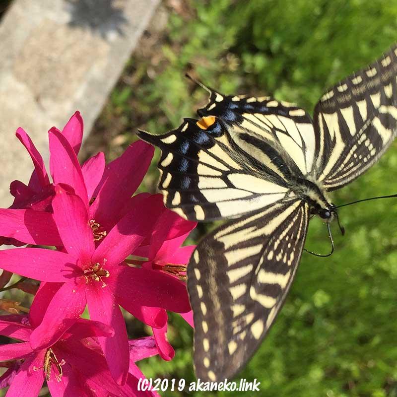 紅い花から飛び立つナミアゲハ蝶