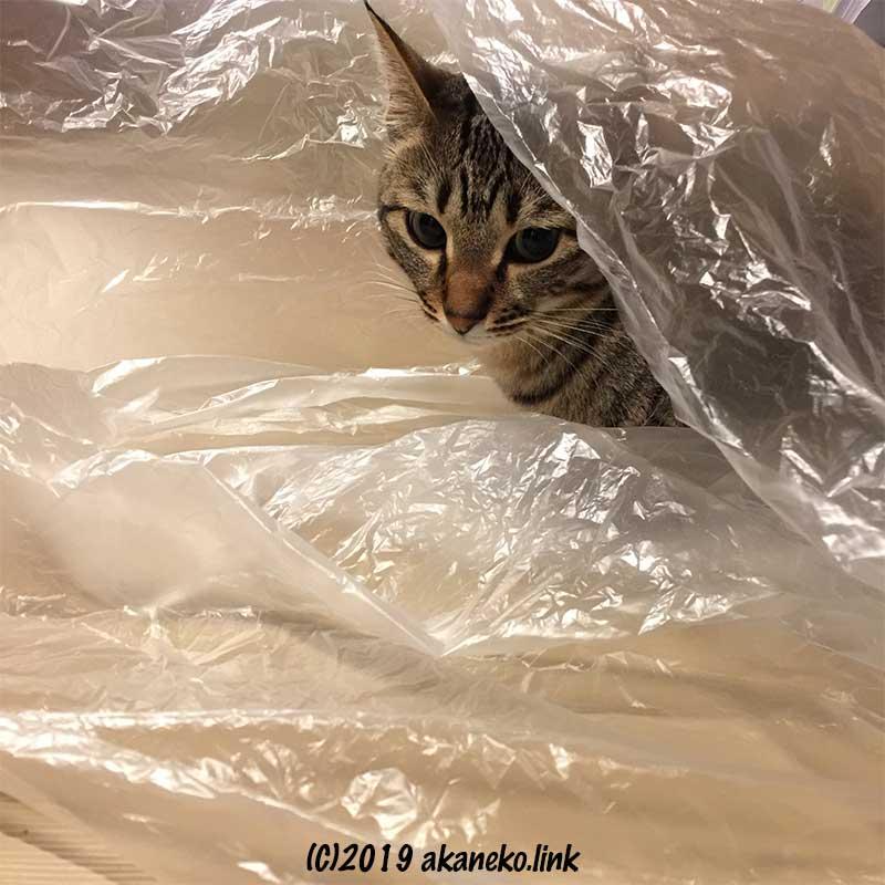 ビニール袋の中からカメラ目線のキジ猫