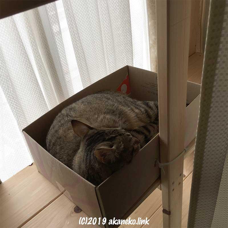 窓辺のダンボールの中で昼寝中のキジ猫
