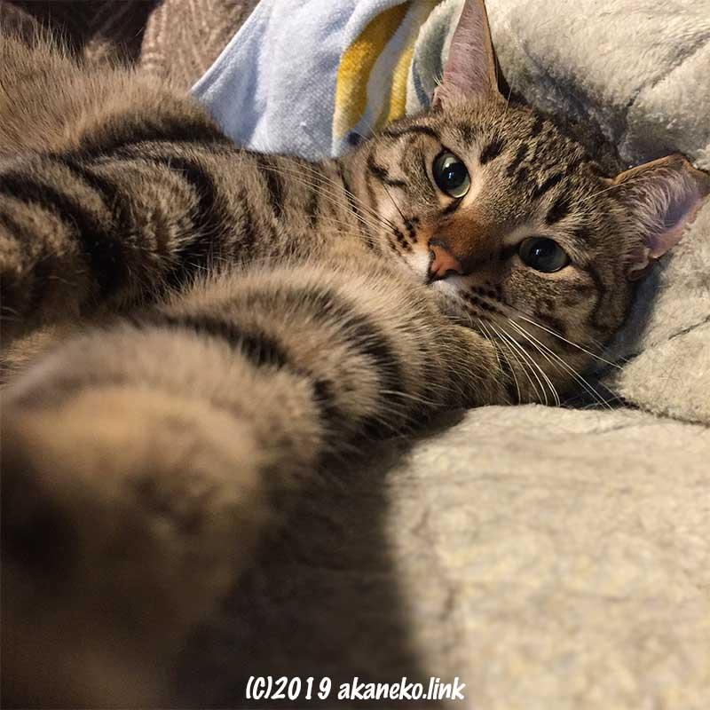 寝そべってカメラに手を伸ばすキジ猫