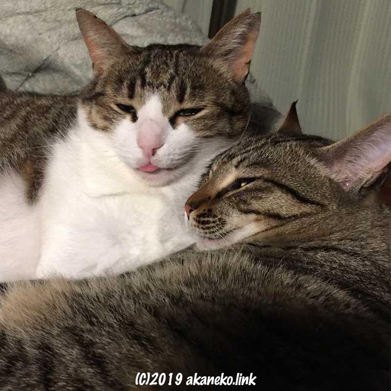 顔を寄せて半目でくつろいでいる二匹の猫