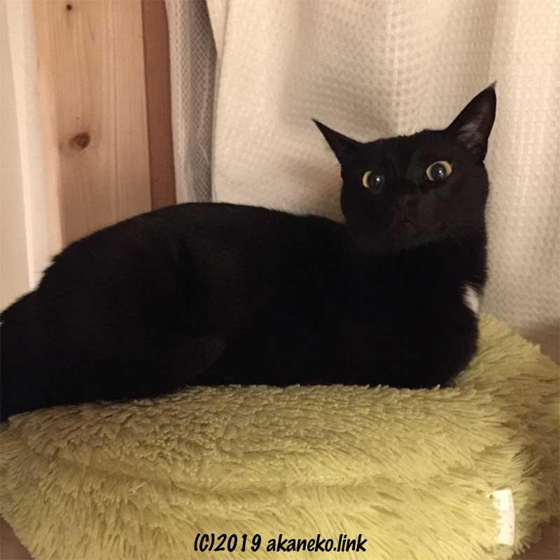 黄色いクッションに寝そべってこちらを見る黒猫