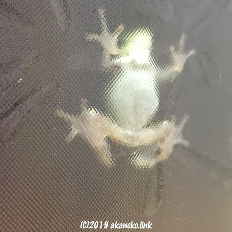 すりガラスに張り付いたカエルの白いお腹