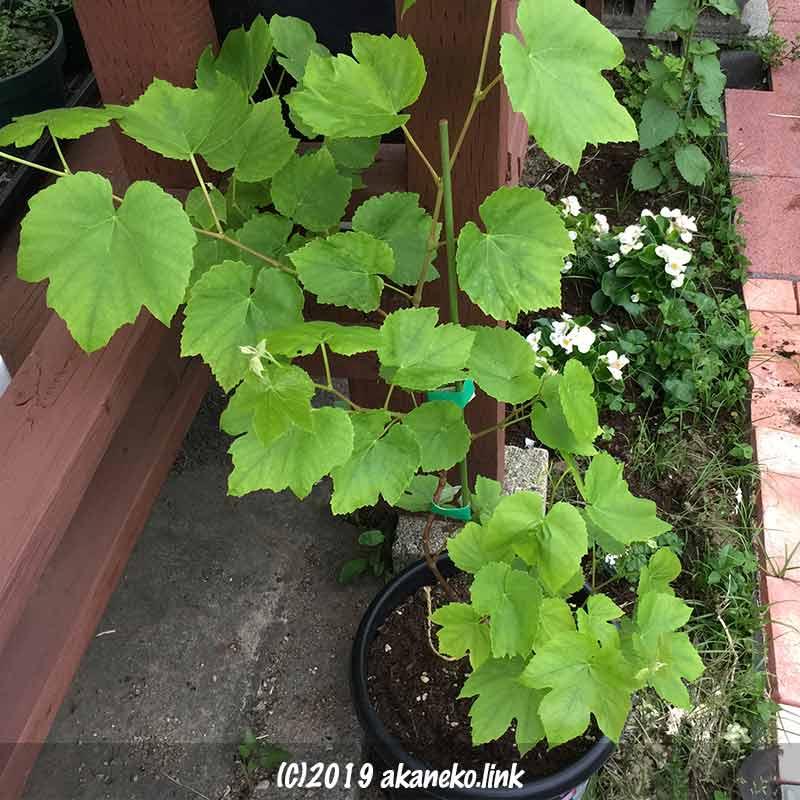 葉を展開させる半地植えのぶどう(ヒムロッドシードレス)