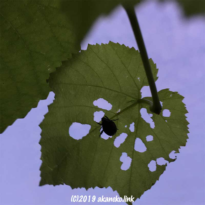 ぶどうの葉を食べているコガネムシのシルエット