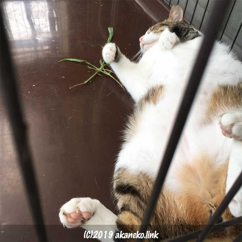 ケージの中でぽっちゃりお腹を上にして寝ているキジ猫