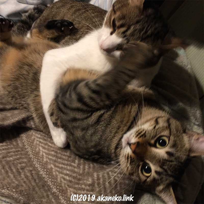 取っ組み合い中の仲良し親子猫