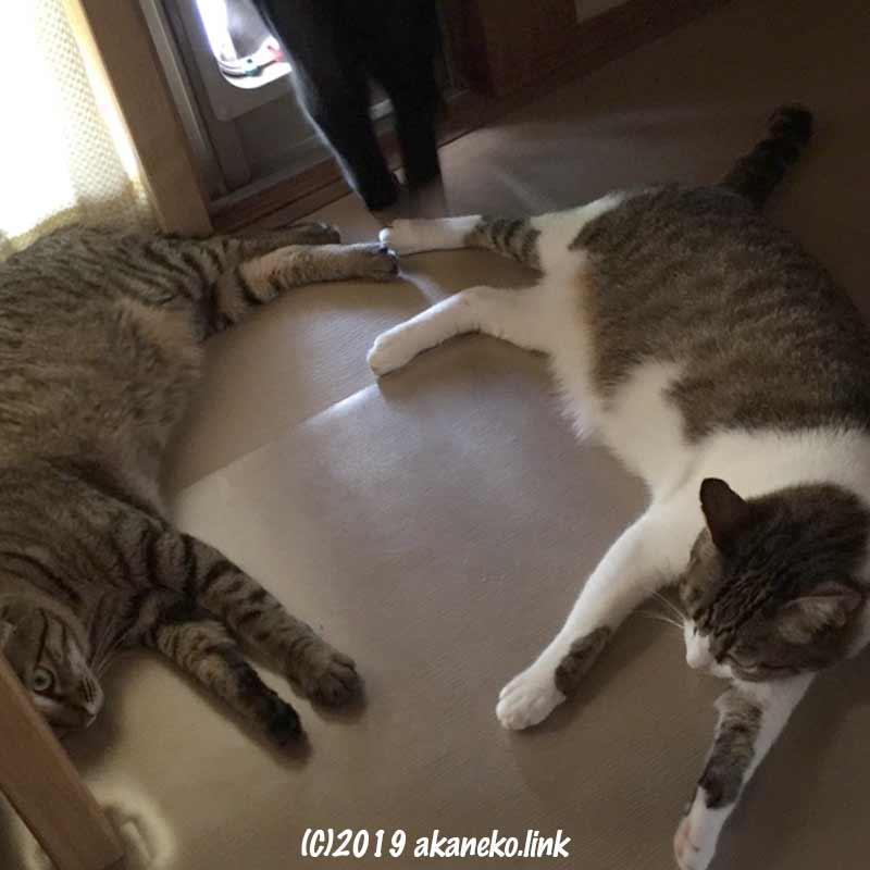 猫ドアから外に出ようとする黒猫と、ドアの前に寝そべった2匹のキジ猫