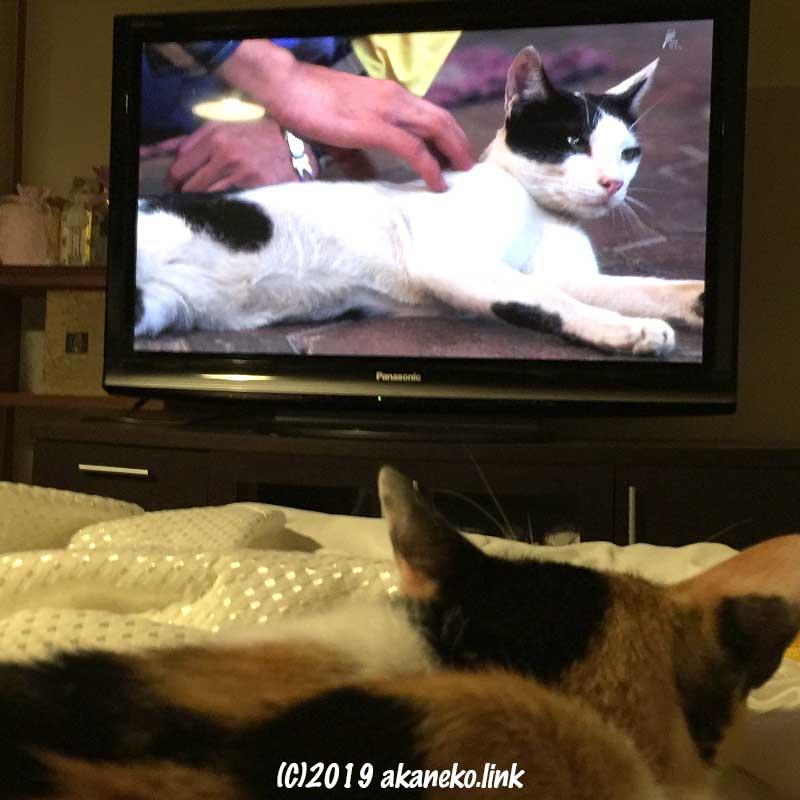 「世界ネコ歩き」をベッドで寝そべって見ている三毛猫の後ろ頭