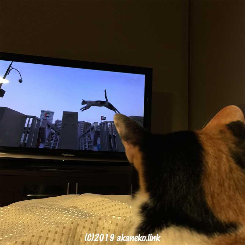 テレビの中の猫を見ている三毛猫の後ろ頭