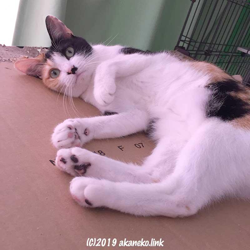 ダンボール板の上で寝転がってカメラ目線の三毛猫