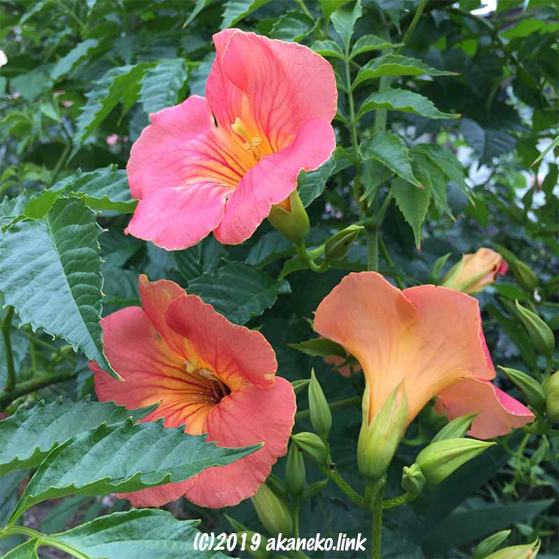 ノウゼンカズラのオレンジ色の花