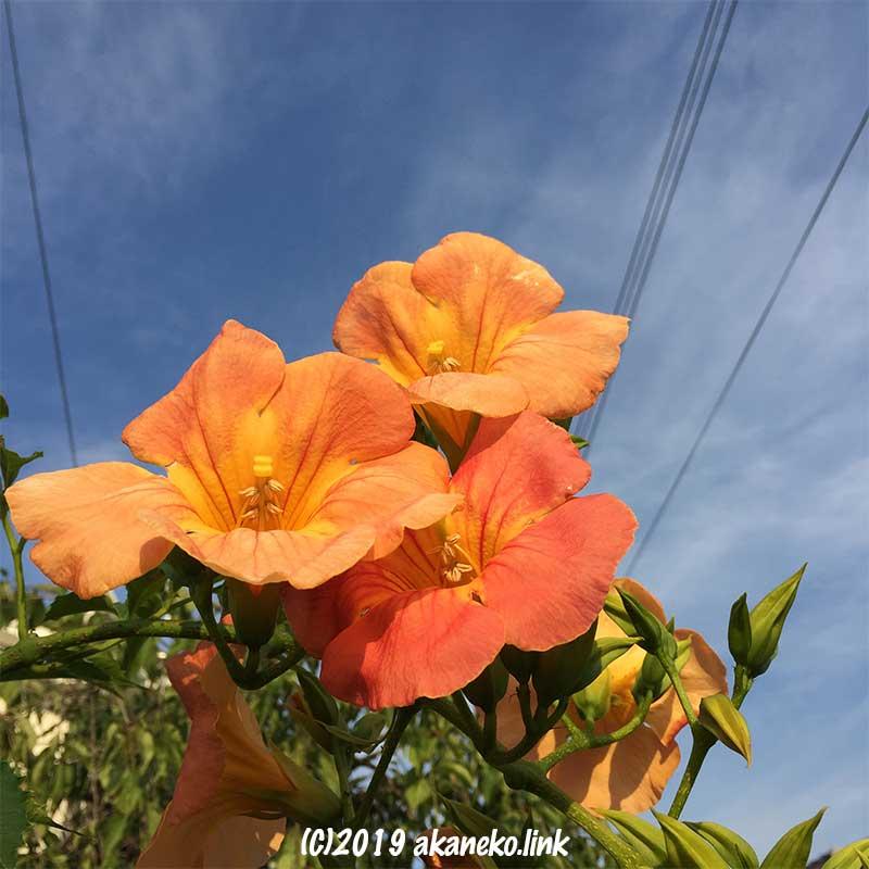 青空の下のノウゼンカズラの花