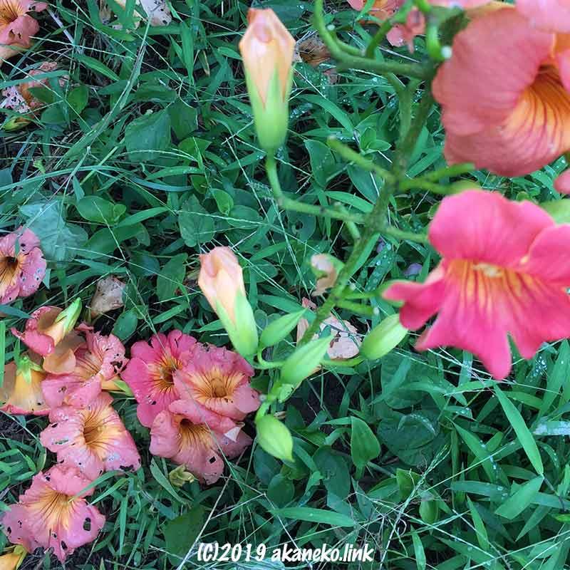 草の上に散り落ちたノウゼンカズラの花
