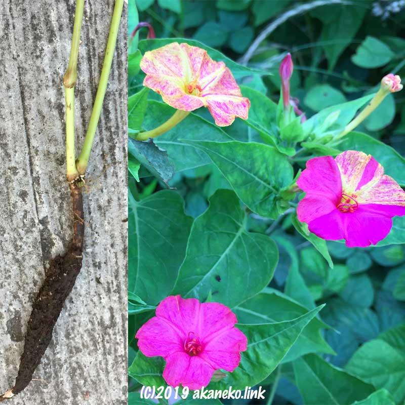 オシロイバナの球根と花