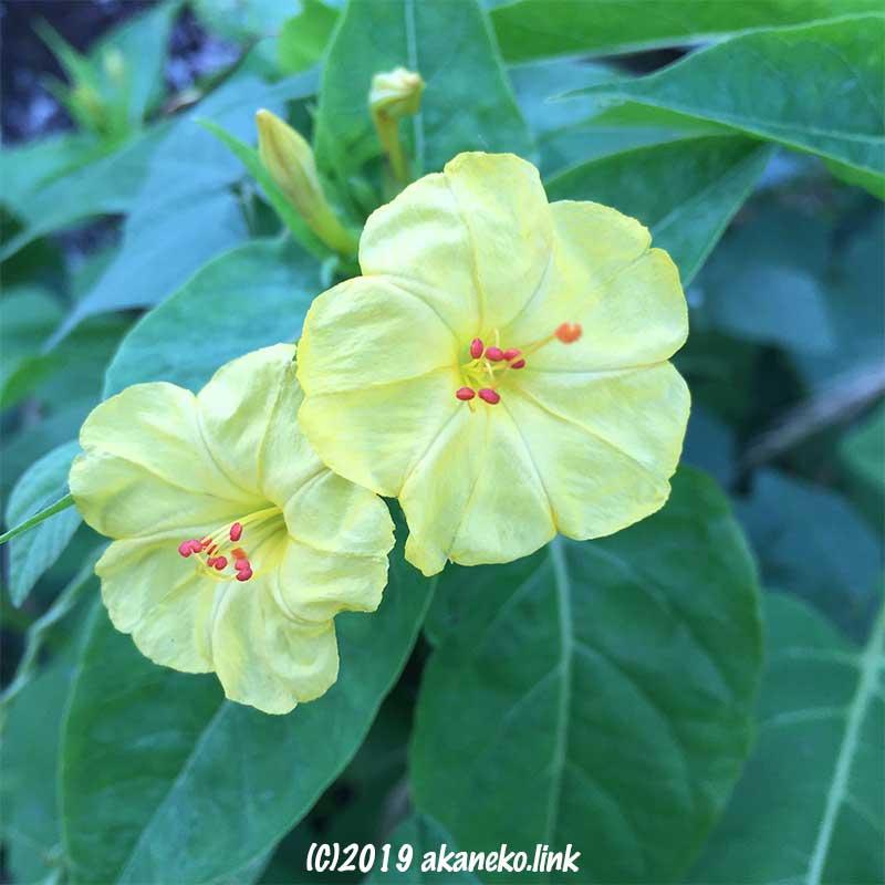 オシロイバナの黄色い花