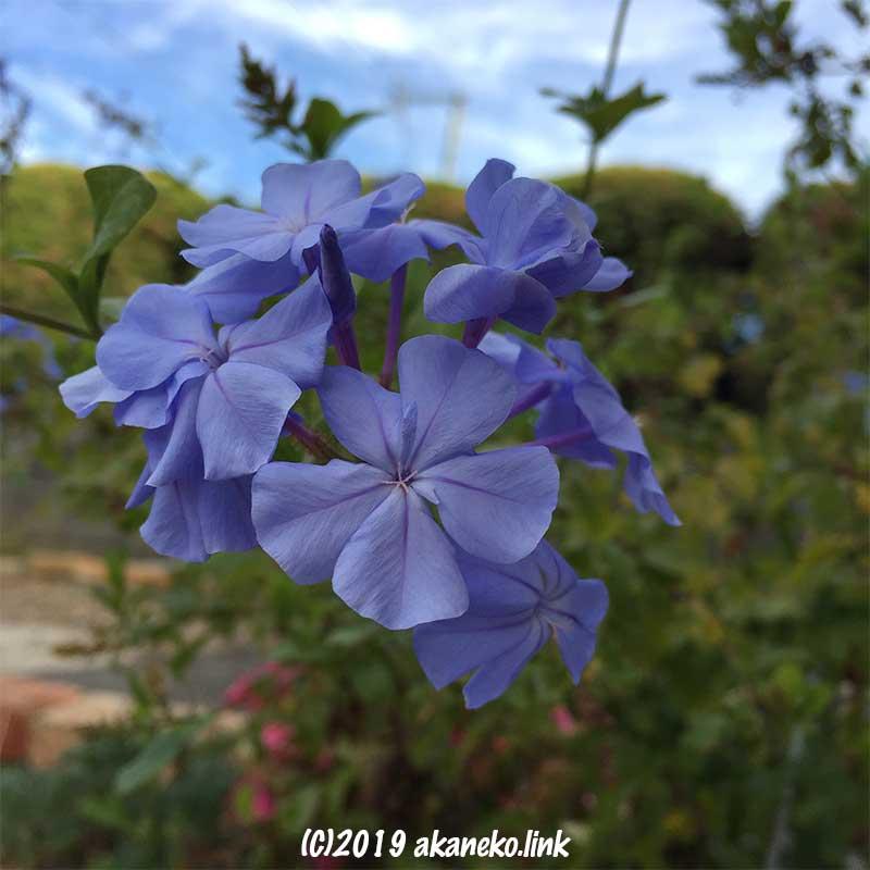 11月のルリマツリ(プルンバゴ:Pulumbago)の青い花