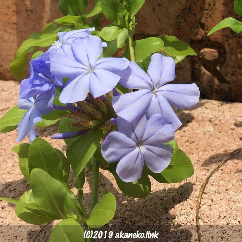 地面すれすれに咲くルリマツリ(プルンバゴ:Pulumbago)の青い花