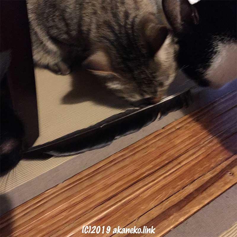 畳の上でカラスの羽の匂いを嗅ぐ猫たち