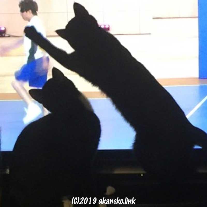 テレビの中の人を追いかける二匹の猫