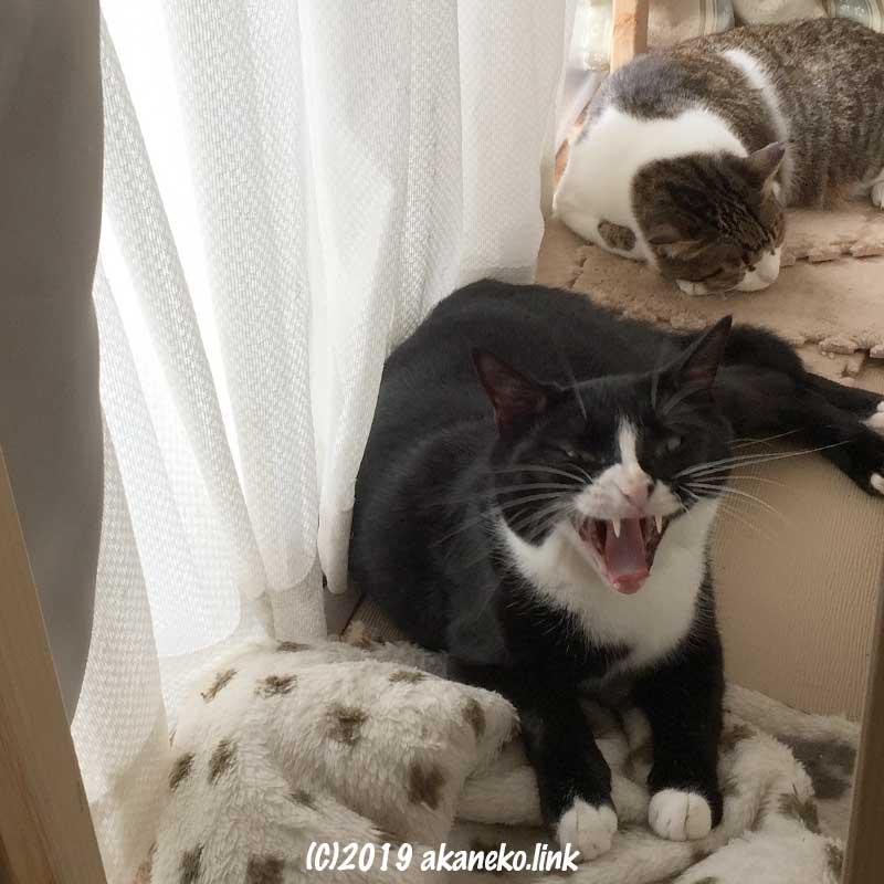 昼寝中に目が覚めてあくびしている猫