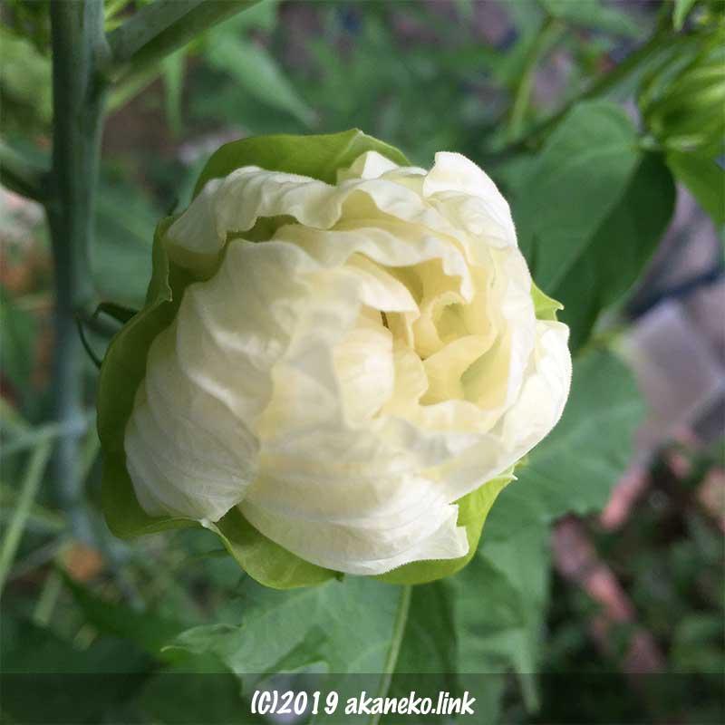 明日開花するタイタンビカス(エルフ)の蕾