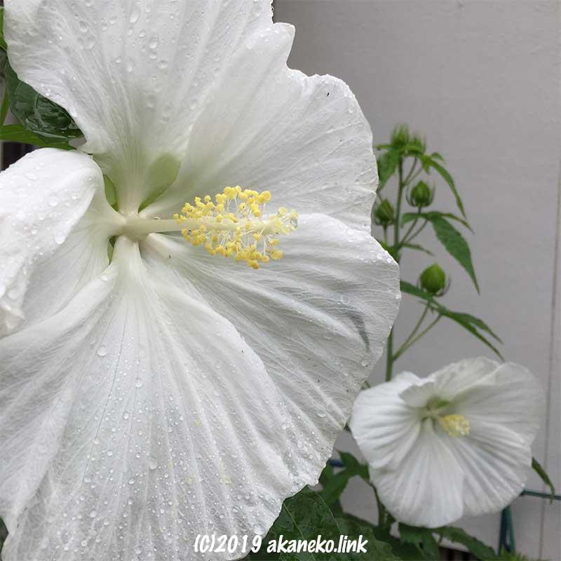 雨に濡れたタイタンビカス(エルフ)の白い花