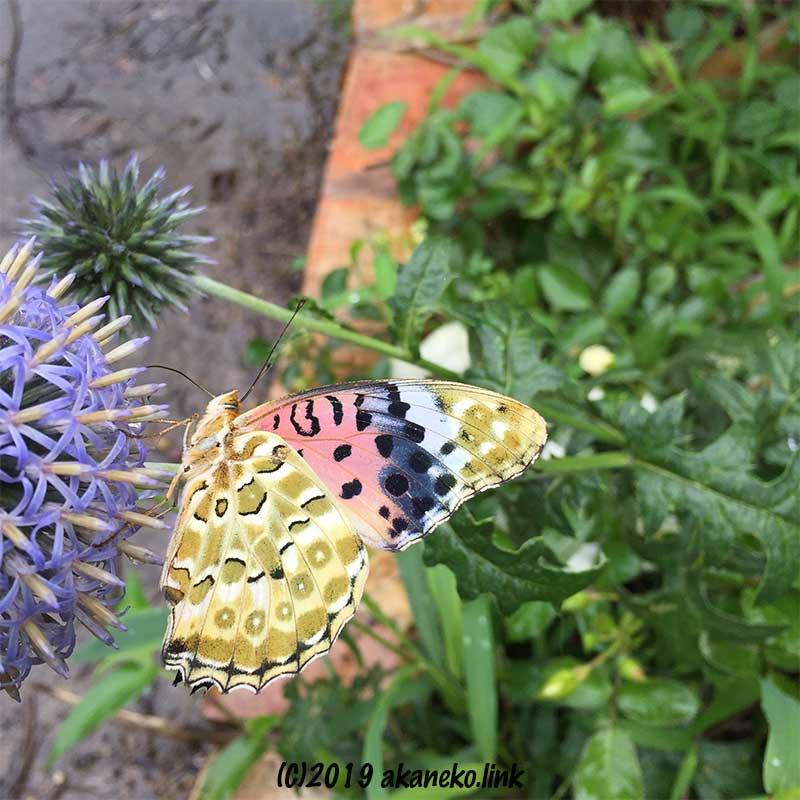 ルリタマアザミの蜜を吸うメスのツマグロヒョウモン
