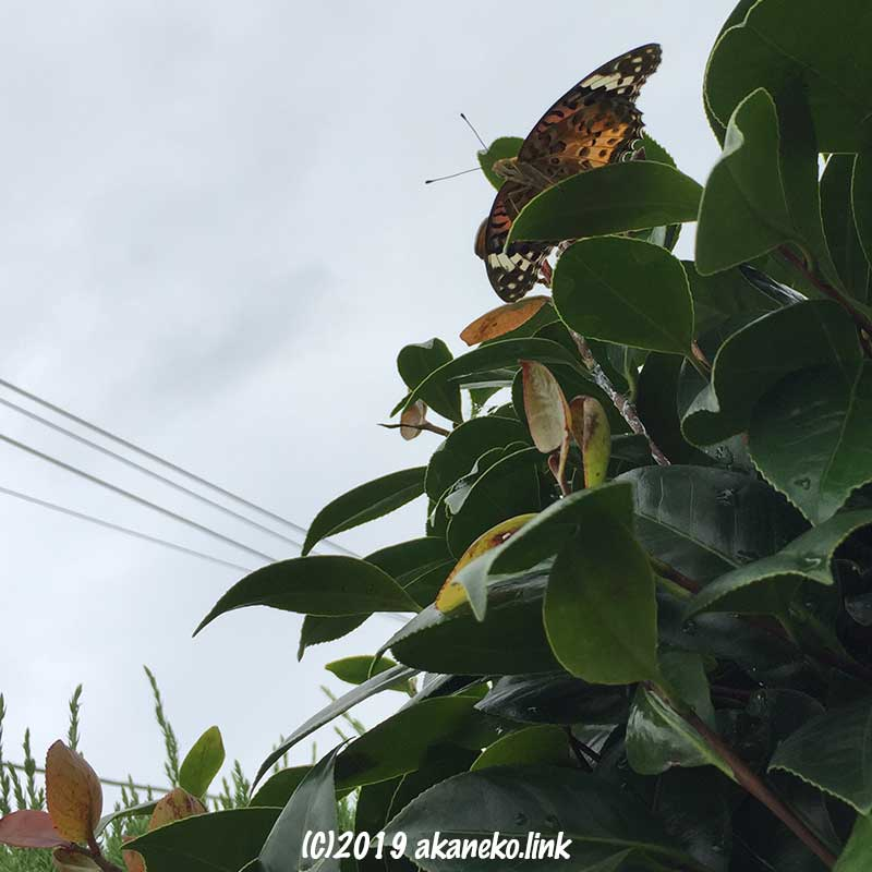 垣根の椿のてっぺんでグライダーのように羽を広げたツマグロヒョウモンのメス