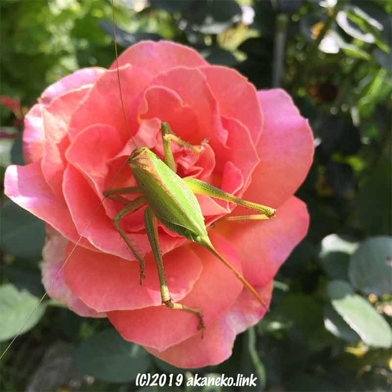 ピンクのバラの花の中にいるメスのヤブキリの背中