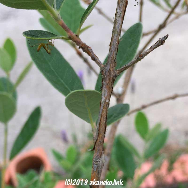 フェイジョアの葉に逆さにとまるハラビロカマキリの赤ちゃん