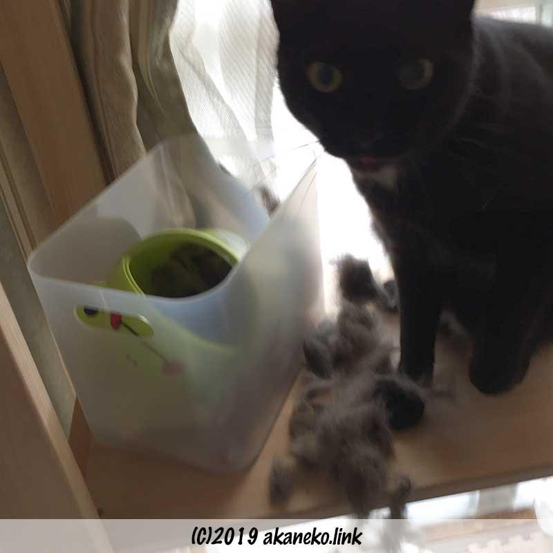 猫の抜け毛を引っ張り出した黒猫