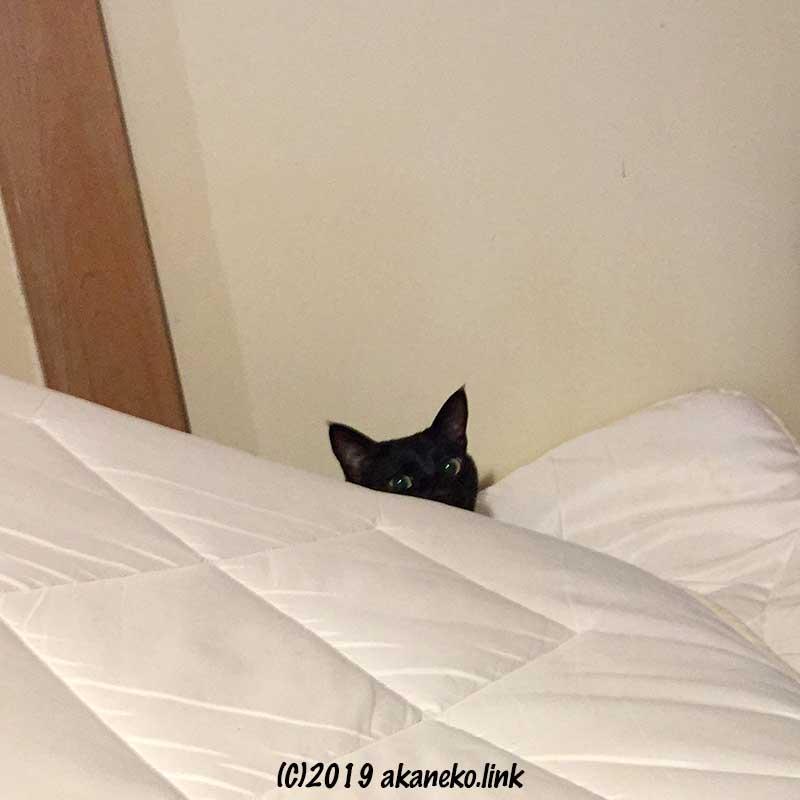真っ白い布団からひょっこり覗く黒猫の顔