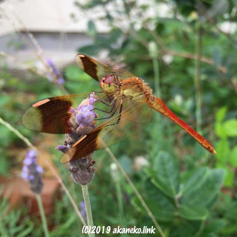 ラベンダーの花にとまるトンボ(ミヤマアカネ)