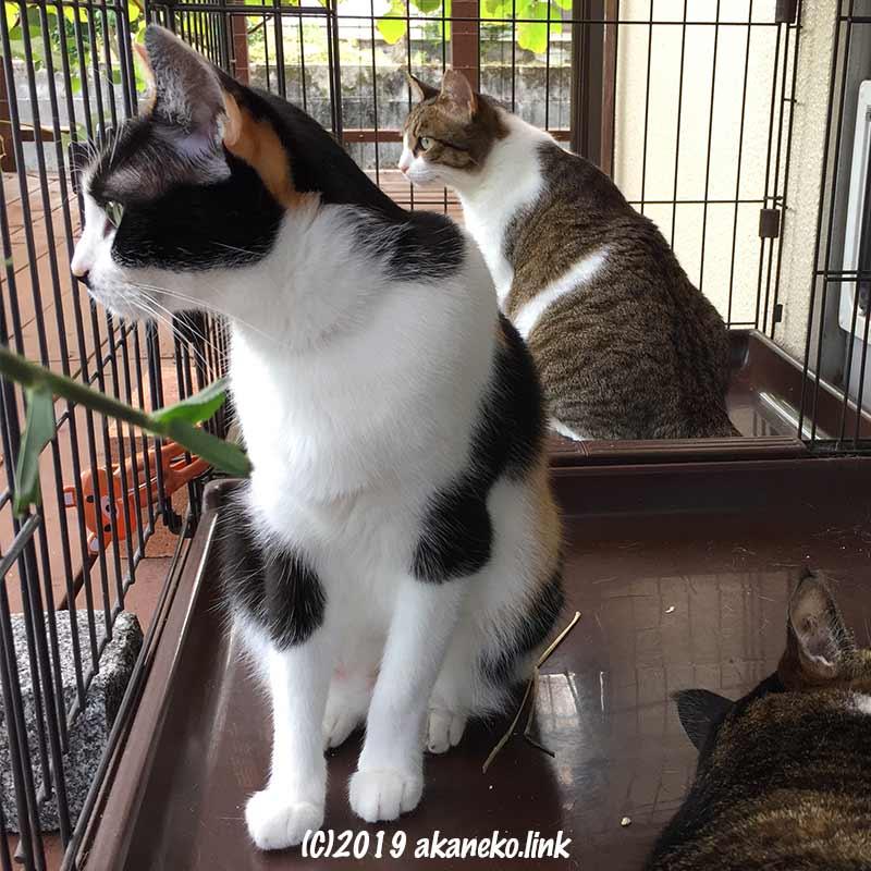 ケージの中から何かを凝視する2匹の雌猫と寝ている雄猫