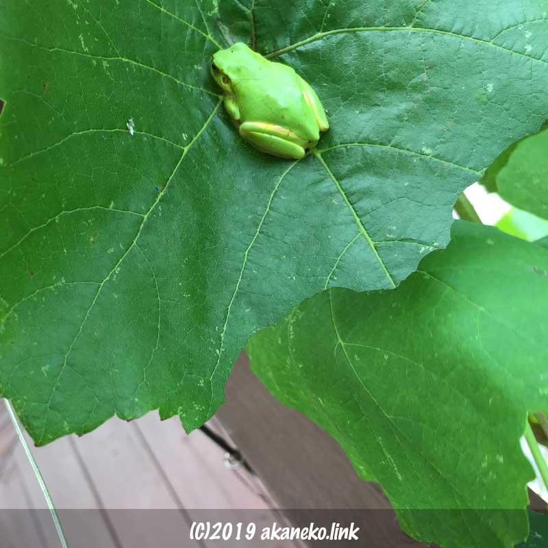 ぶどうの葉の上の緑色のカエル