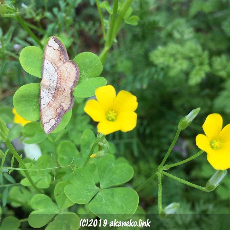 カタバミの葉の上のフタナミトビヒメシャク