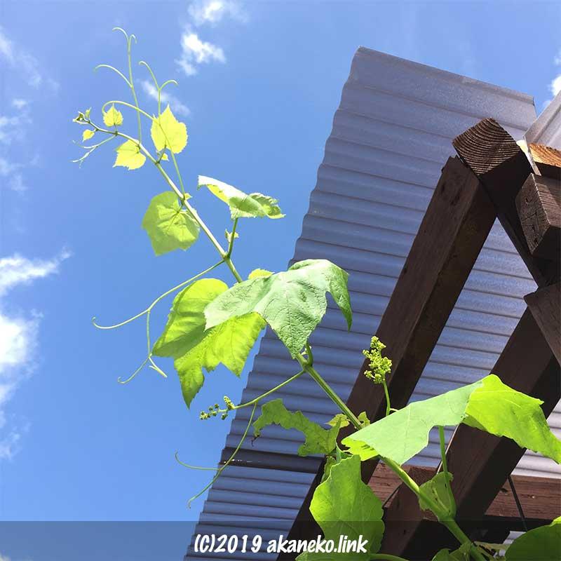 青空とブドウのつる(ヒムロッドシードレス)