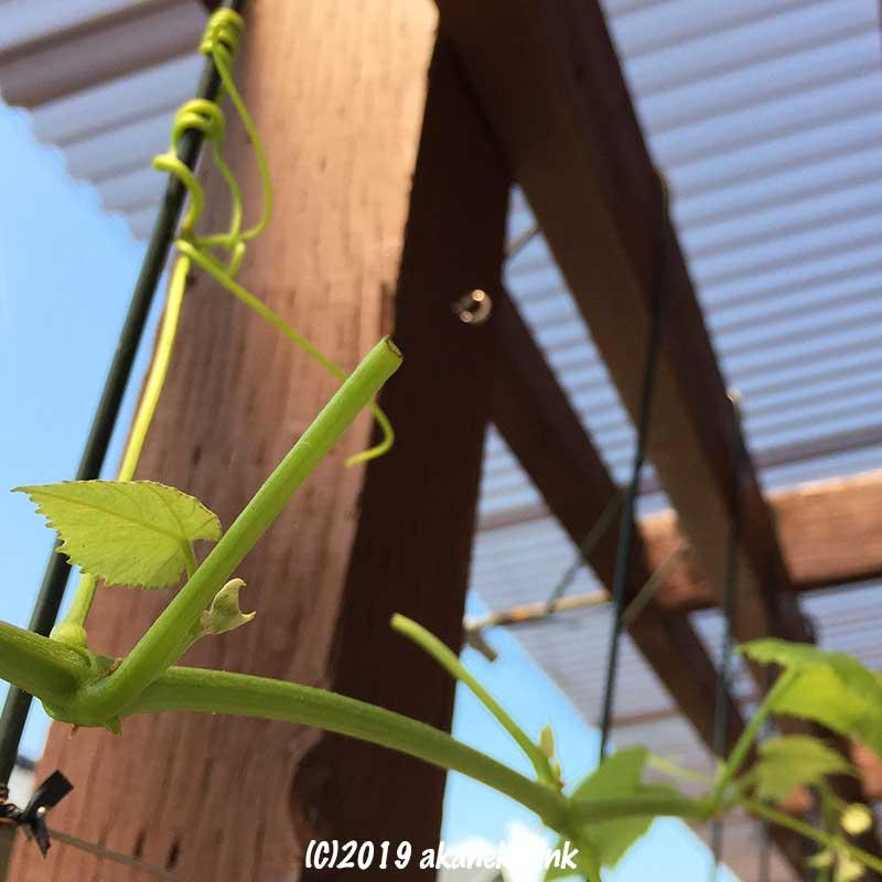 コズズメの幼虫に葉を食べられた葡萄のつる
