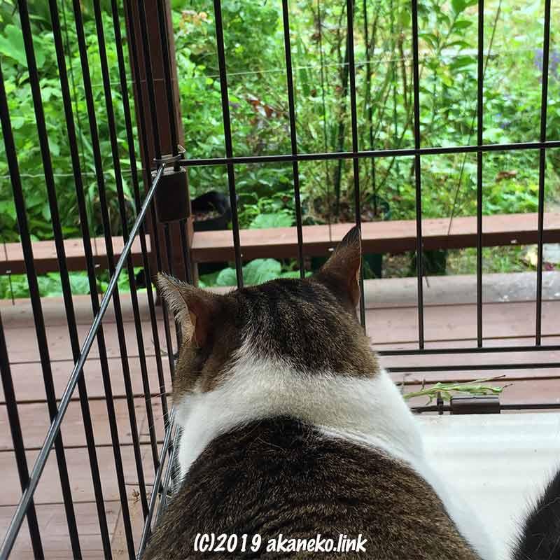 戸外のケージの中から庭を見つめる猫の後頭部