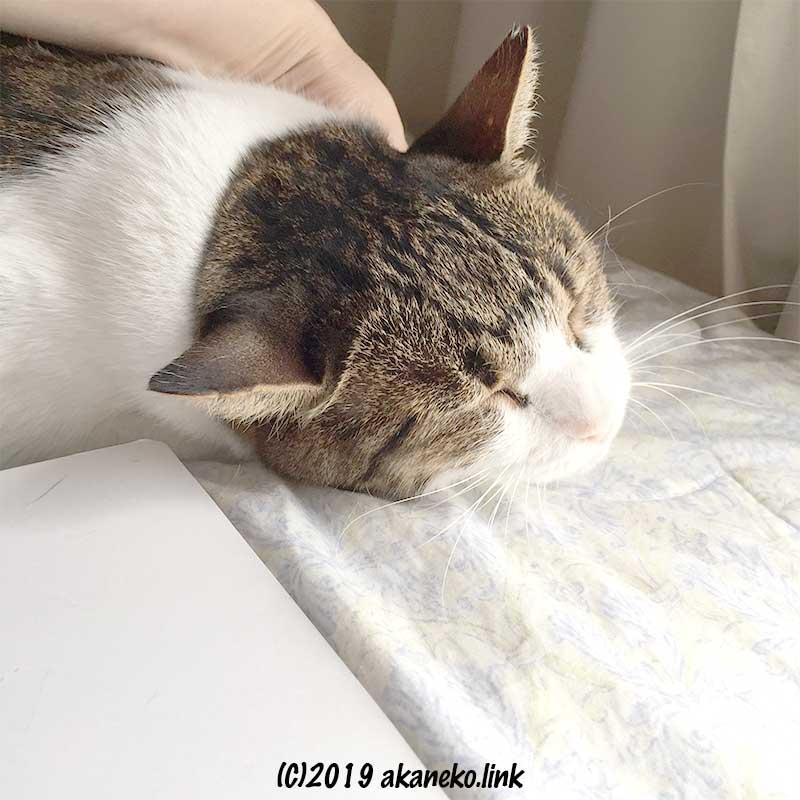 喉を撫でられて目を細める猫