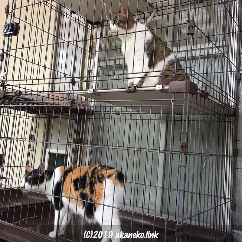 外ケージの中からナワバリへの侵入者を見つめる三毛猫とキジ白猫