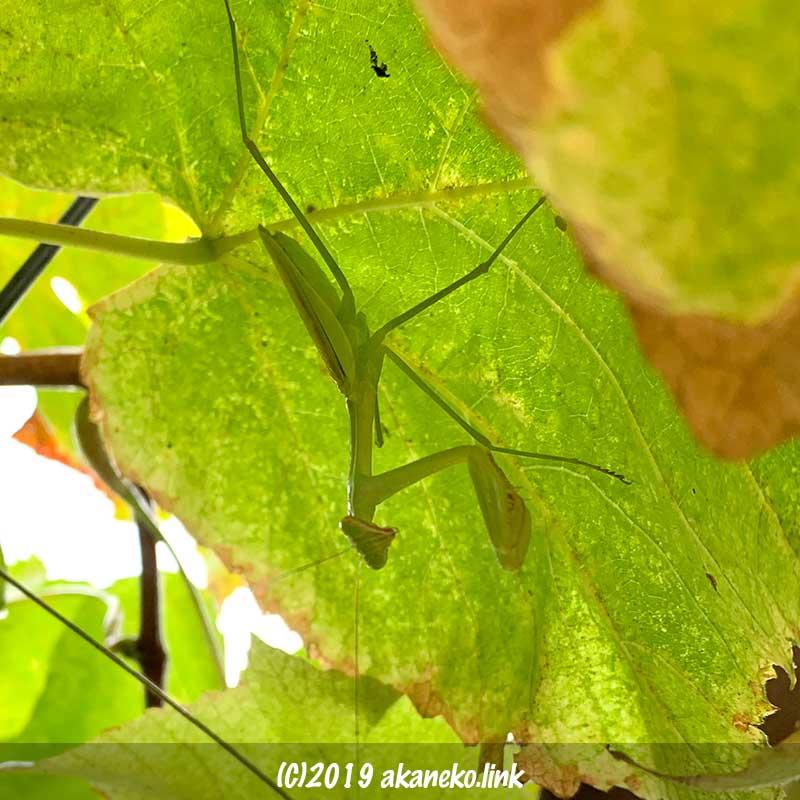 葡萄の葉の裏のカマキリ