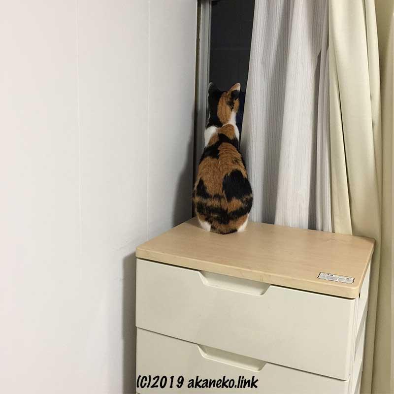 カーテンの隙間から窓の闇を見つめる三毛猫の後ろ姿