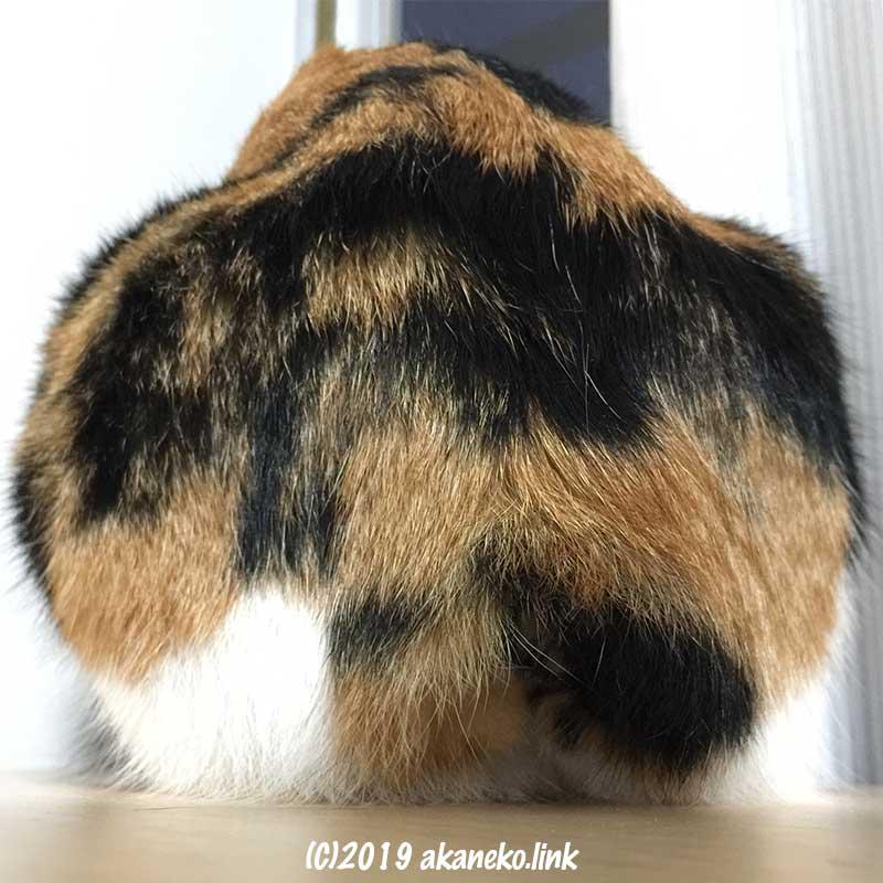 尻尾がない三毛猫のお尻