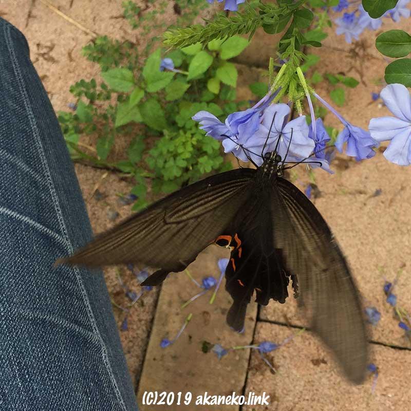 人のすぐそばでルリマツリの蜜を吸うオナガアゲハ蝶