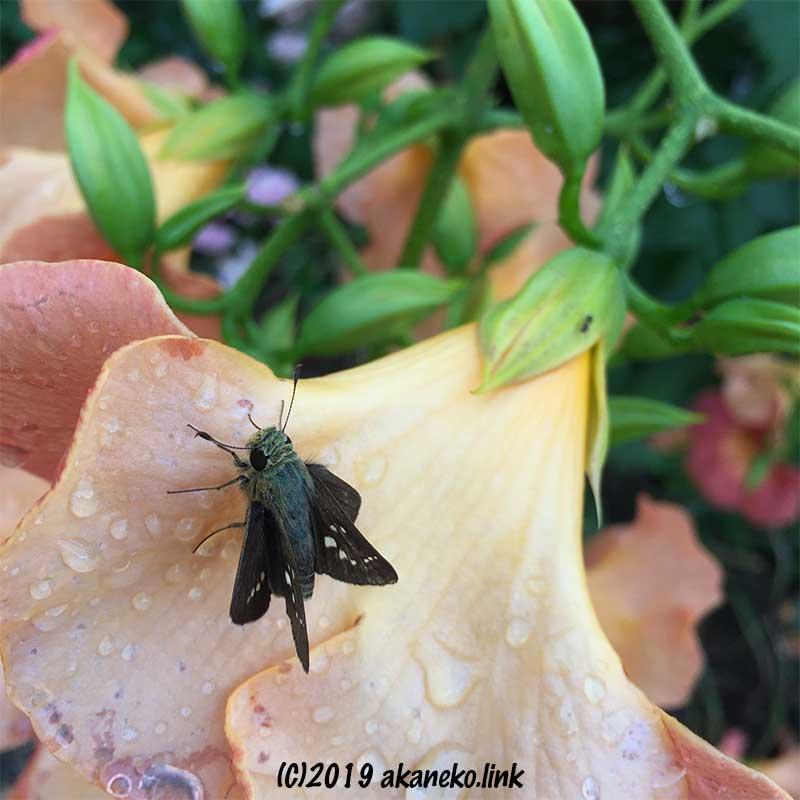 雨に濡れたノウゼンカズラの花の上のセセリチョウ