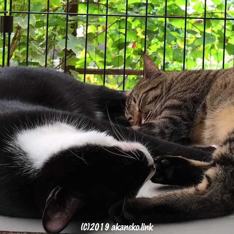 戸外のケージで昼寝中の2匹の猫